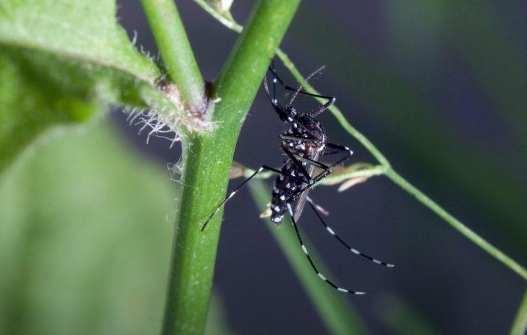 Webdesign Informationsportal zur Asiatischen Tigermücke
